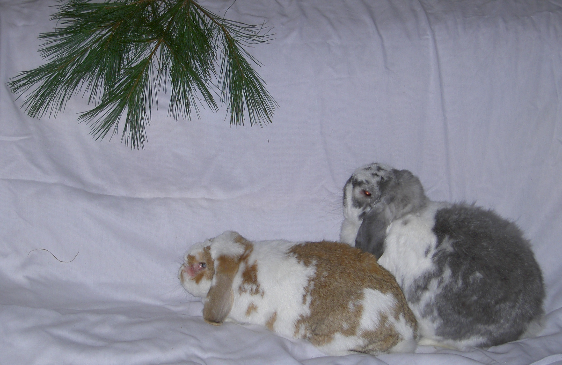 [ Beau and Pierre eyeing the evergreens ]
